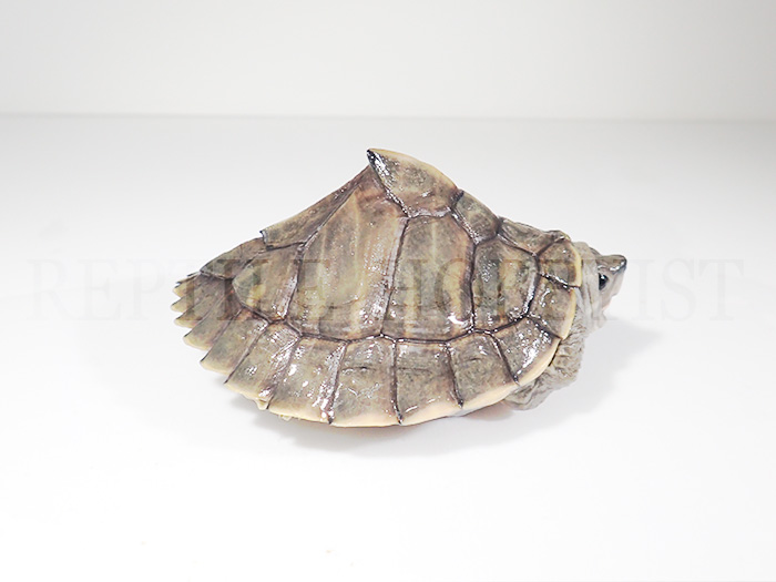 アッサムセタカガメ