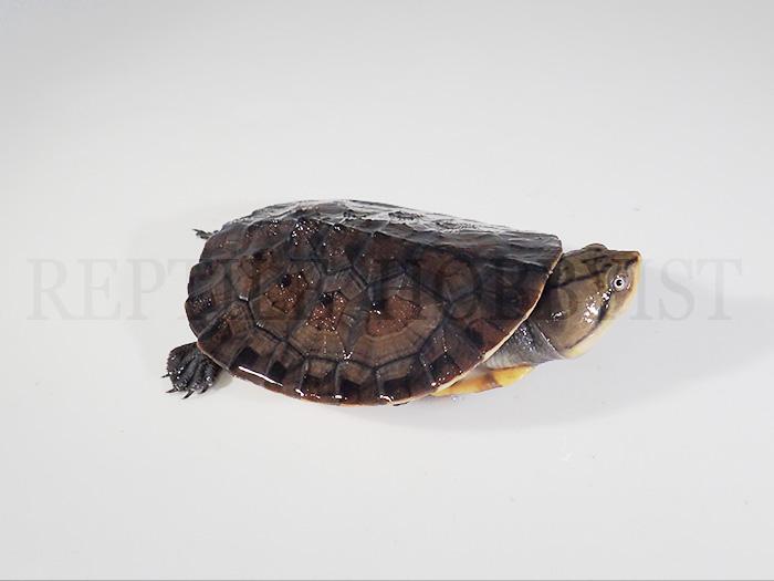 アマゾンカエルガメ