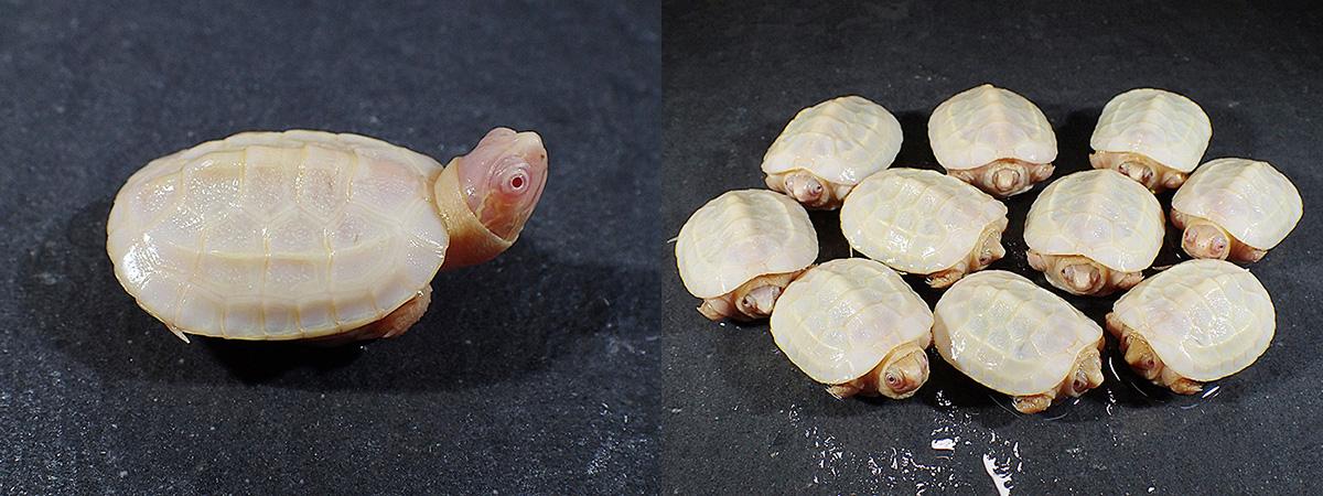 reeve's pond turtle
