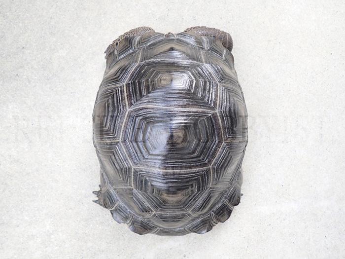 アルダブラゾウガメ