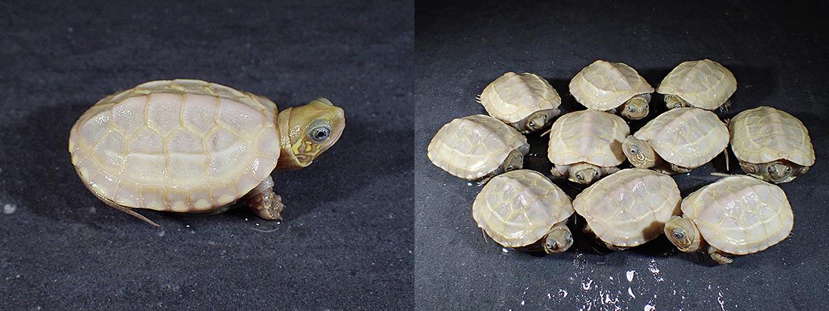 reeve's_pond_turtle04