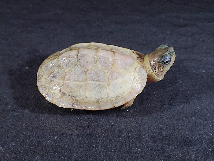 パラドクスアルビノクサガメ