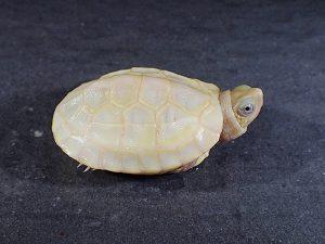 パステルアルビノクサガメ