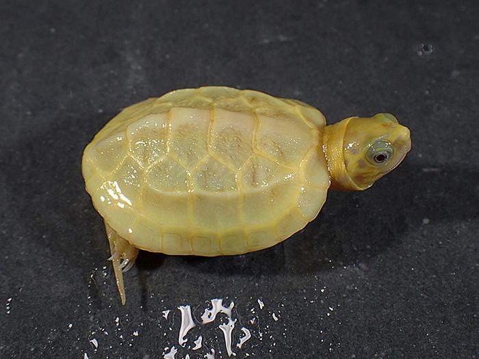 SPA(スーパーパステルアルビノクサガメ)