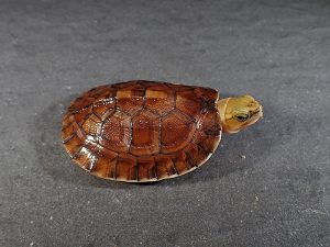 turtle カメ 亀